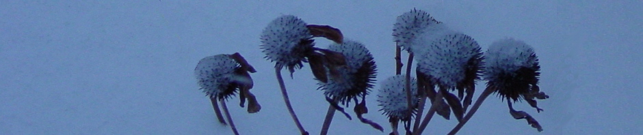 Echinacea flower heads in snow